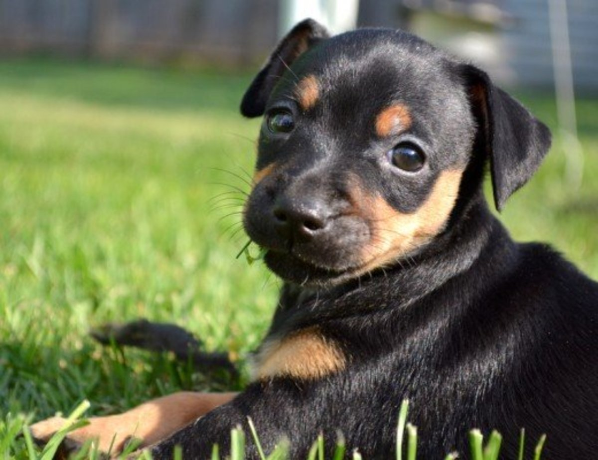 The Miniature Pinscher, the King of the Toys