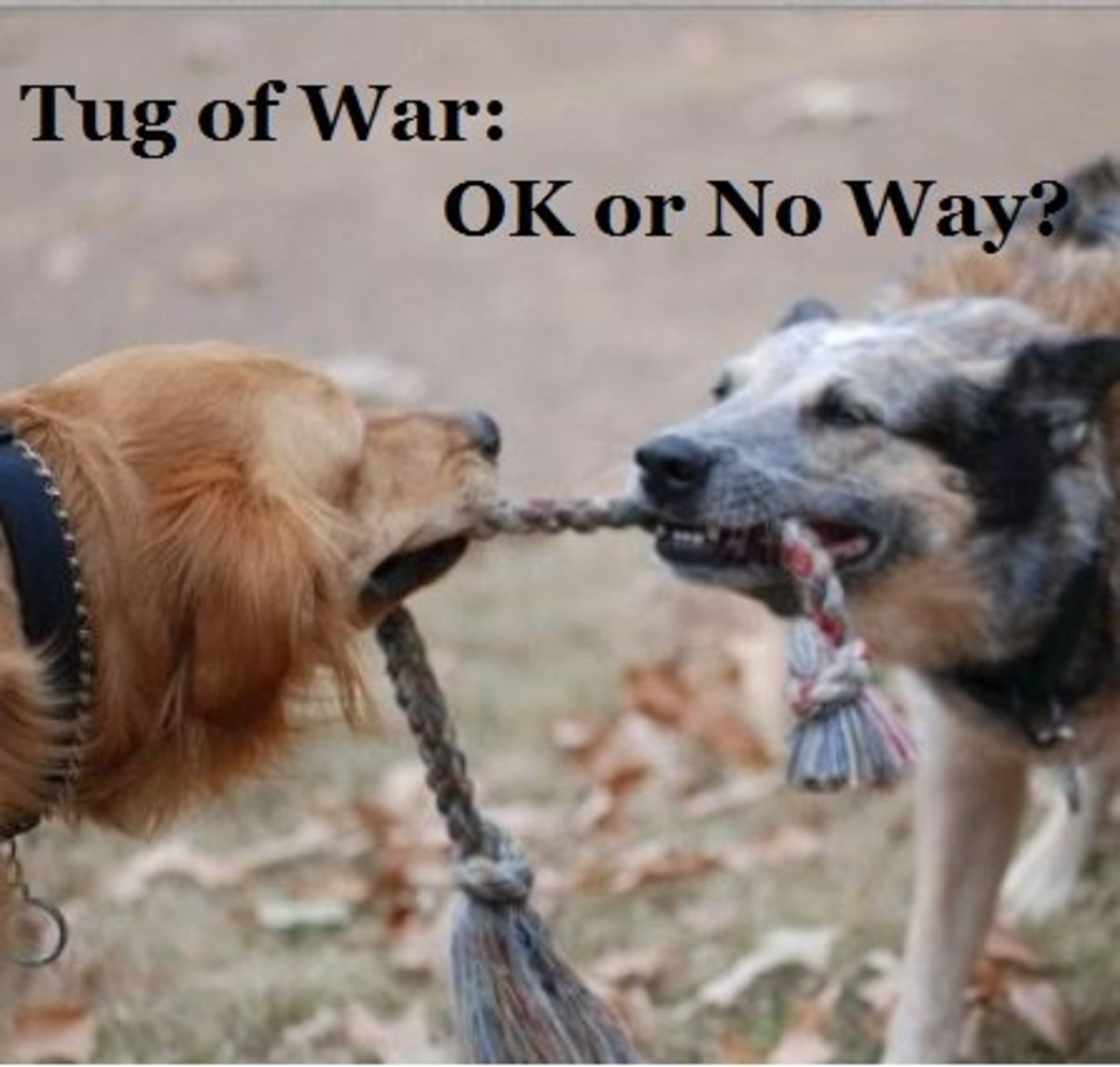 Among dogs, the game of tug remains a favorite. Source: pipalou,