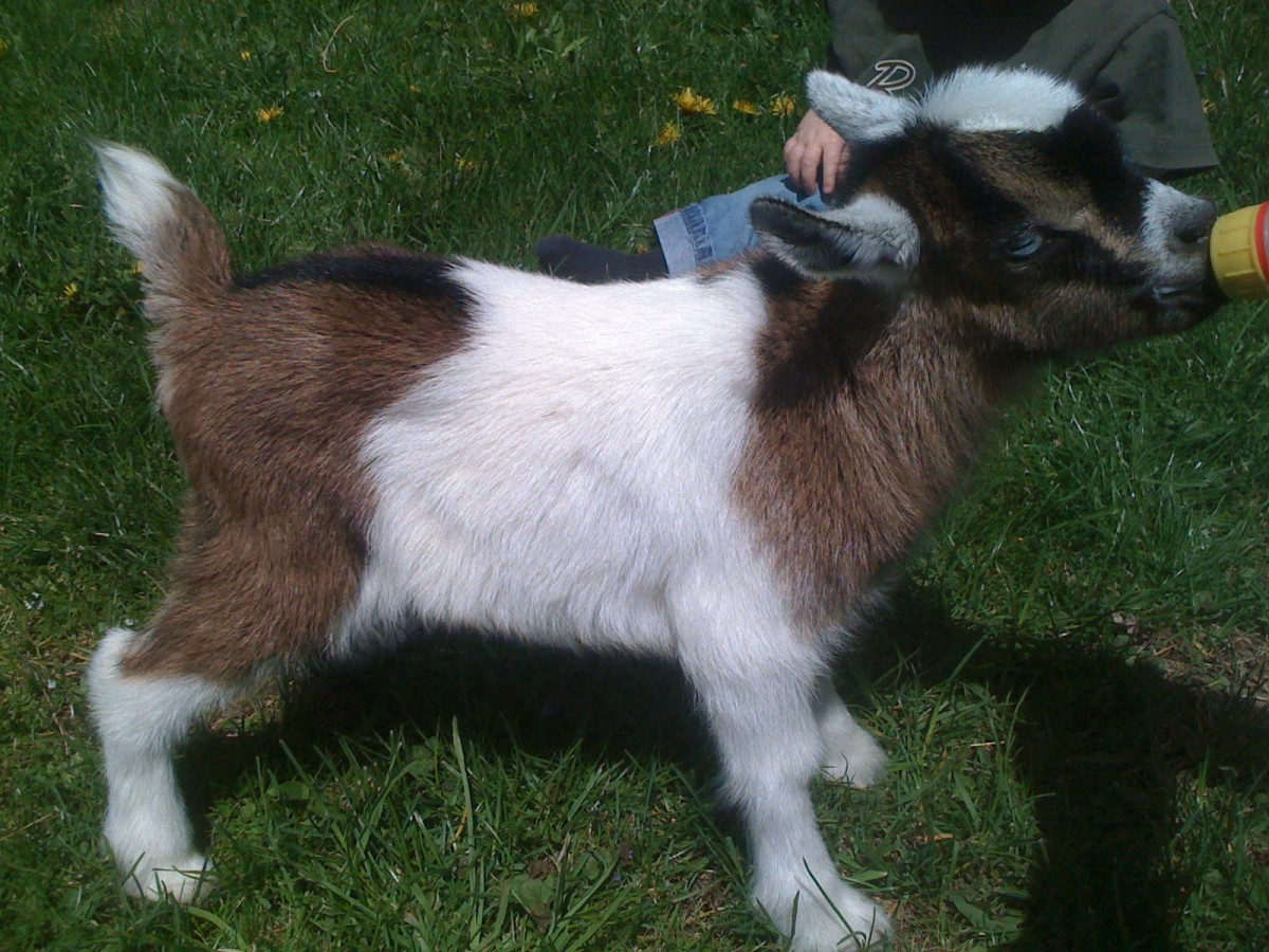 One of my mini-alpine goat kids from 2011 Shady Acres Maximus Meridius