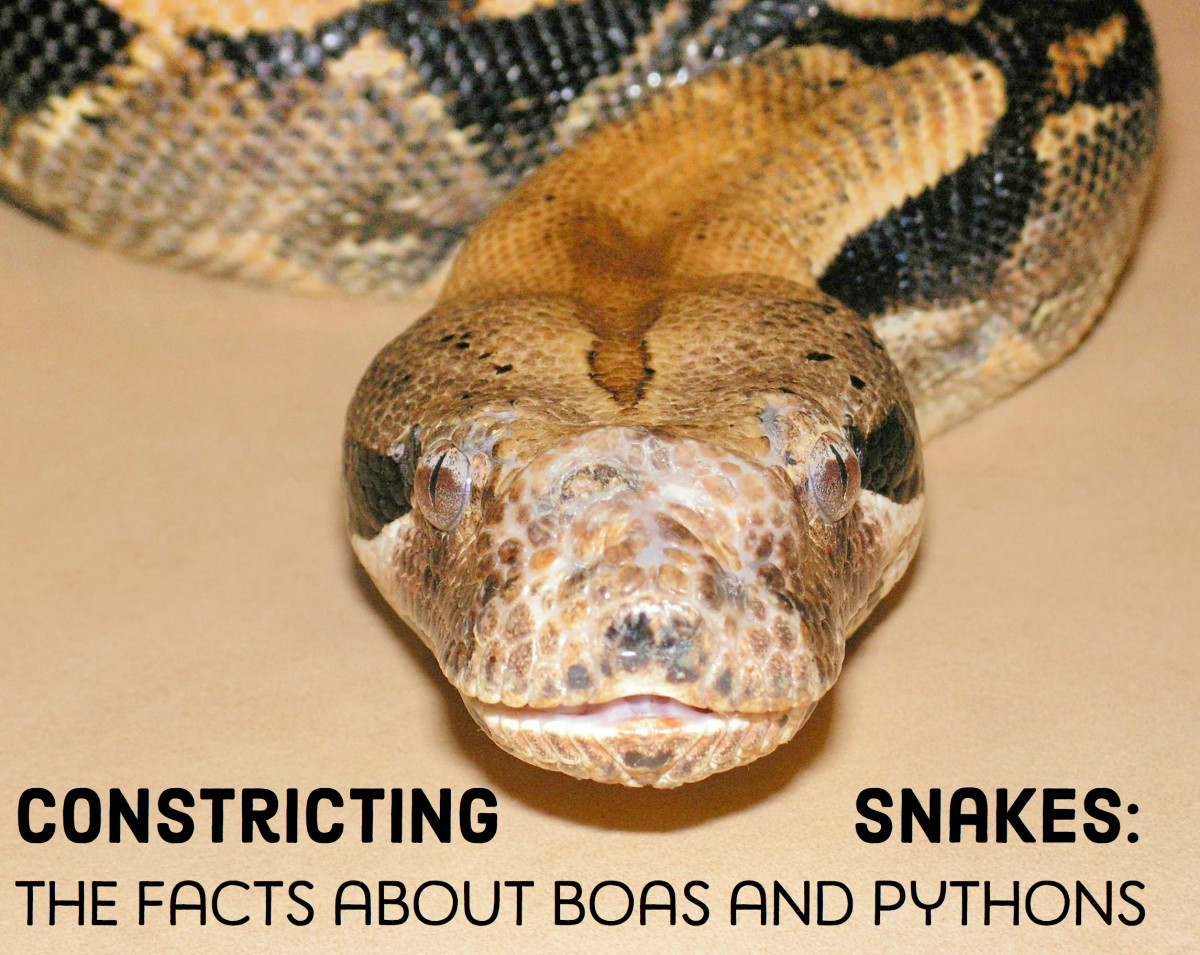 14 Species of Boas and Pythons: Amazing Constricting Snakes