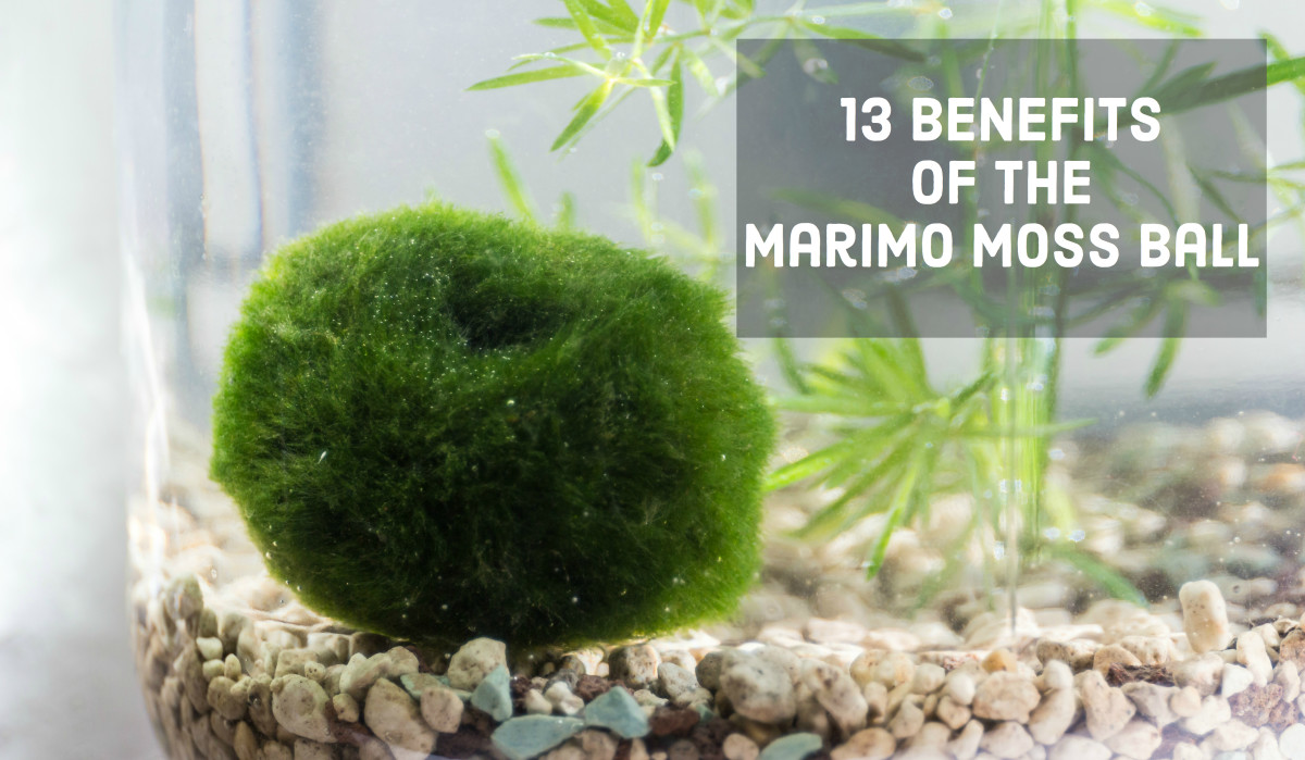 13 Benefits Of The Marimo Moss Ball Pethelpful