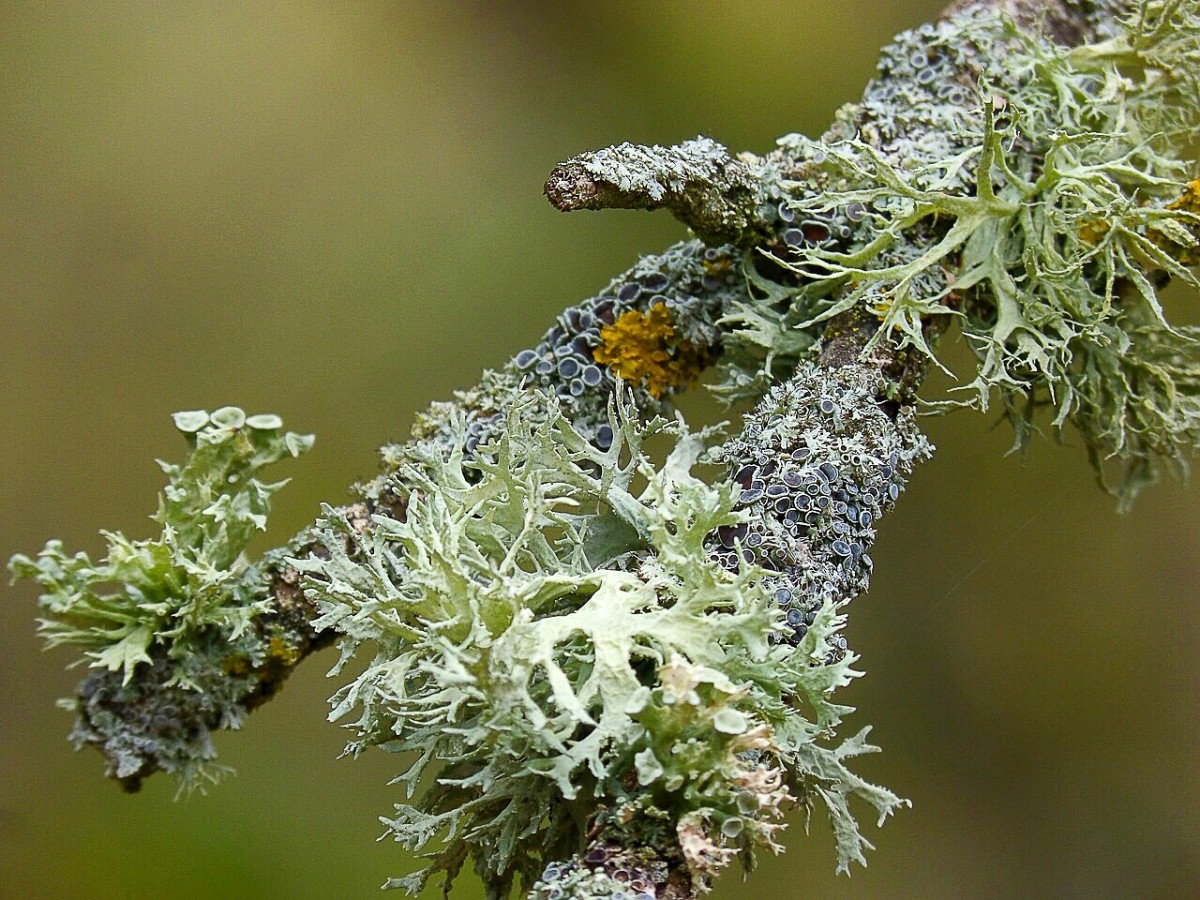 What is the significance of lichens in nature and human life