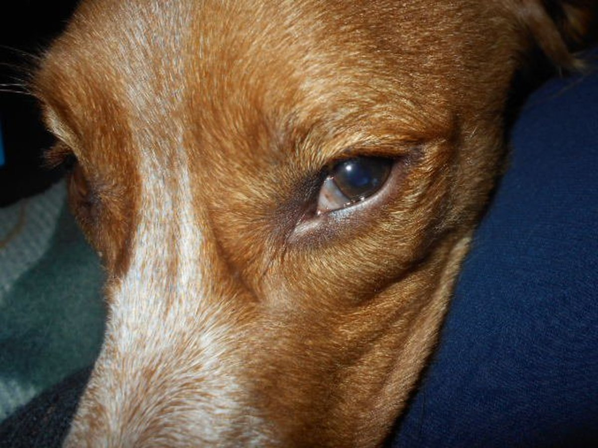 Why Is My Dog's Third Eyelid Showing?