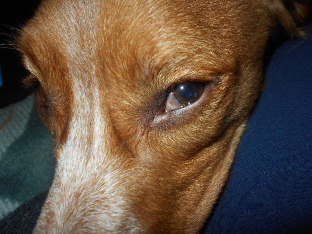 Dog Third Eyelid Showing In One Eye