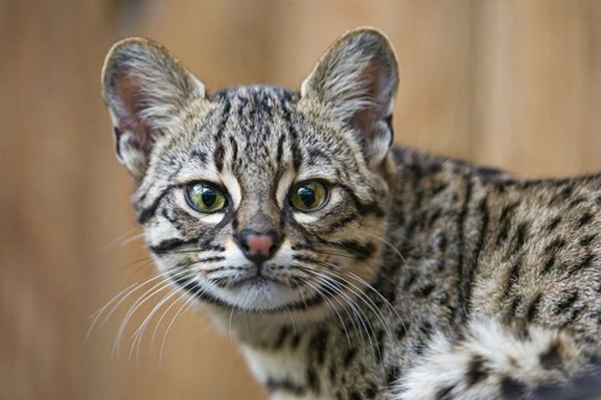Exotic Cats You Can Own Legally