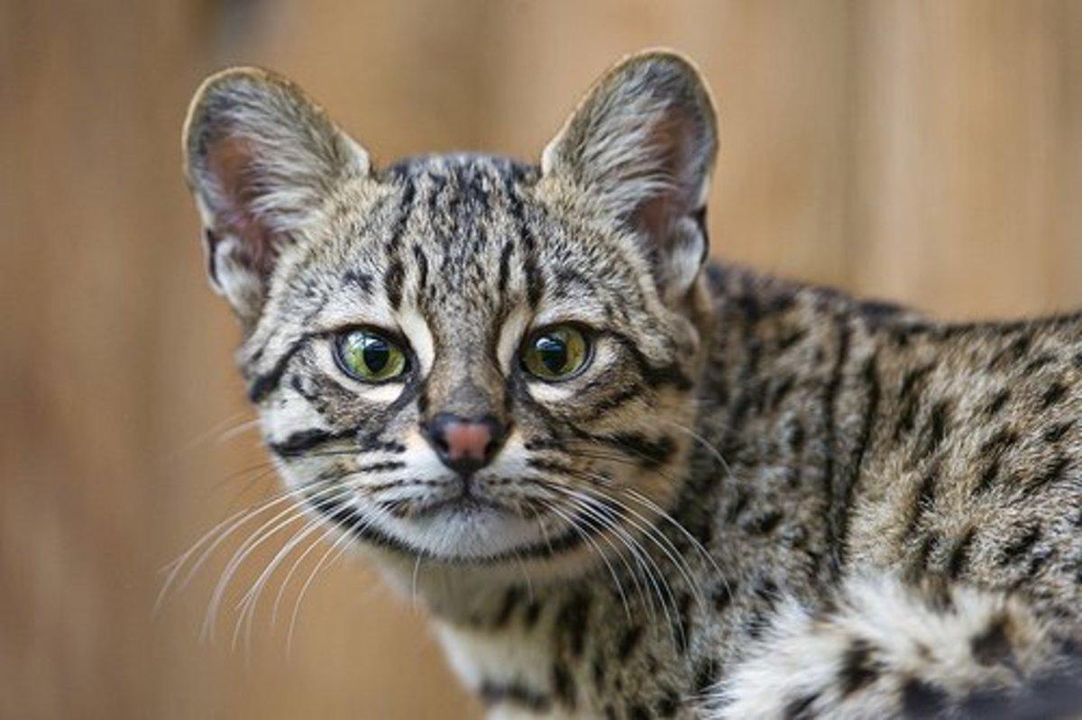 A Geoffroy's cat.