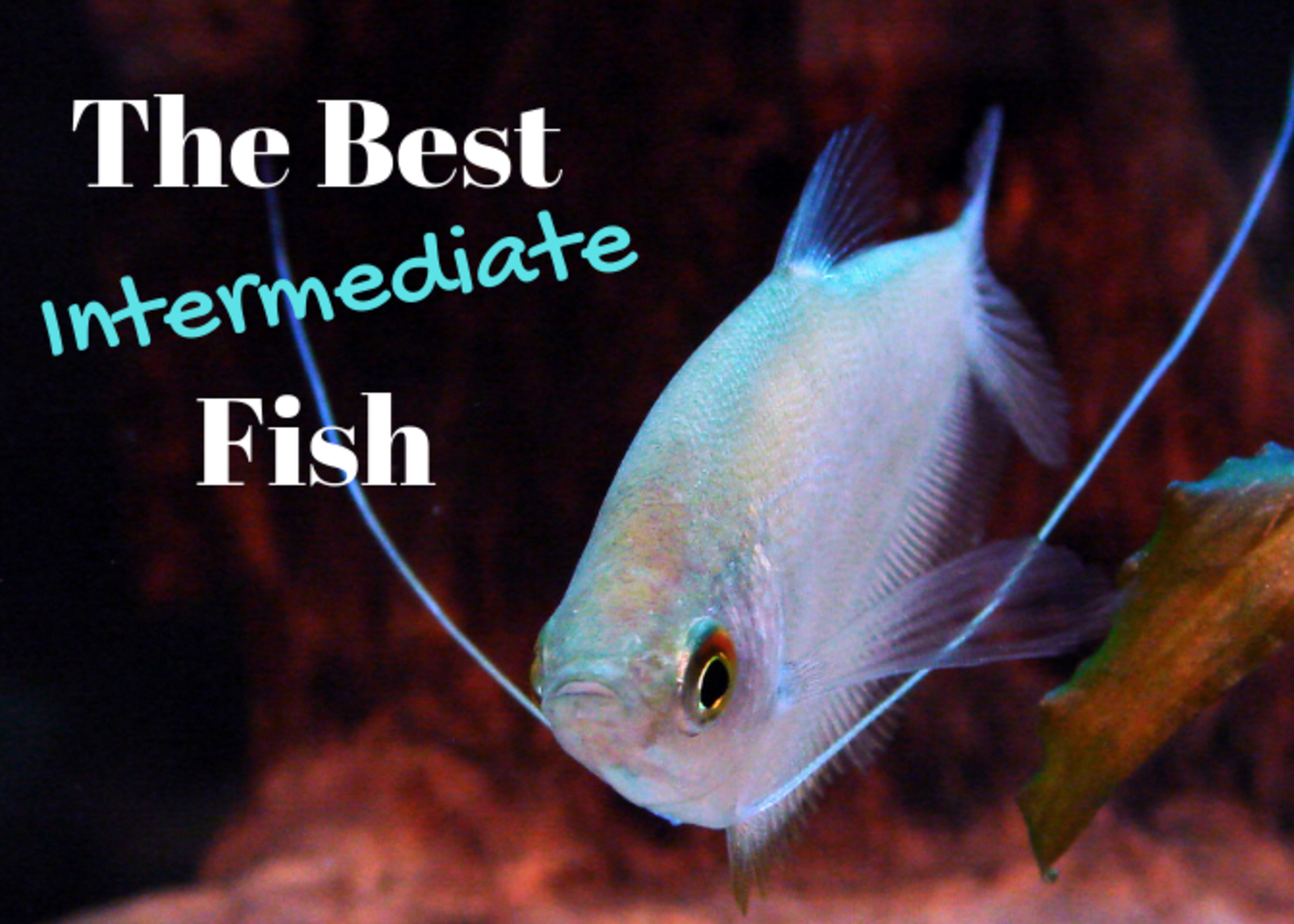 The Best Intermediate-Level Freshwater Fish