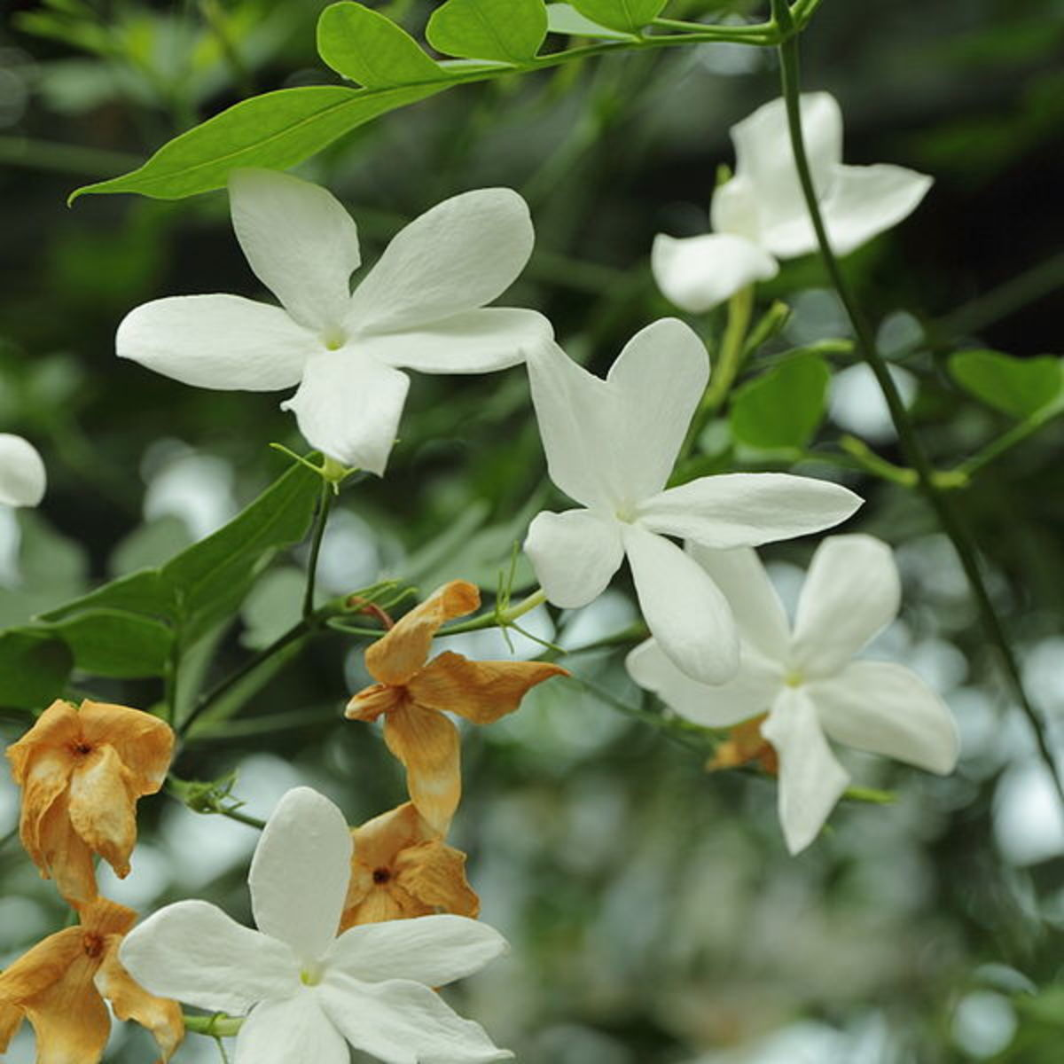 Jasmine flowers (Jasminum officinale).