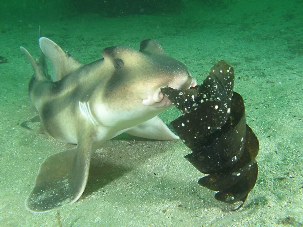 Horn and Angel Sharks - Predators on the Seabed