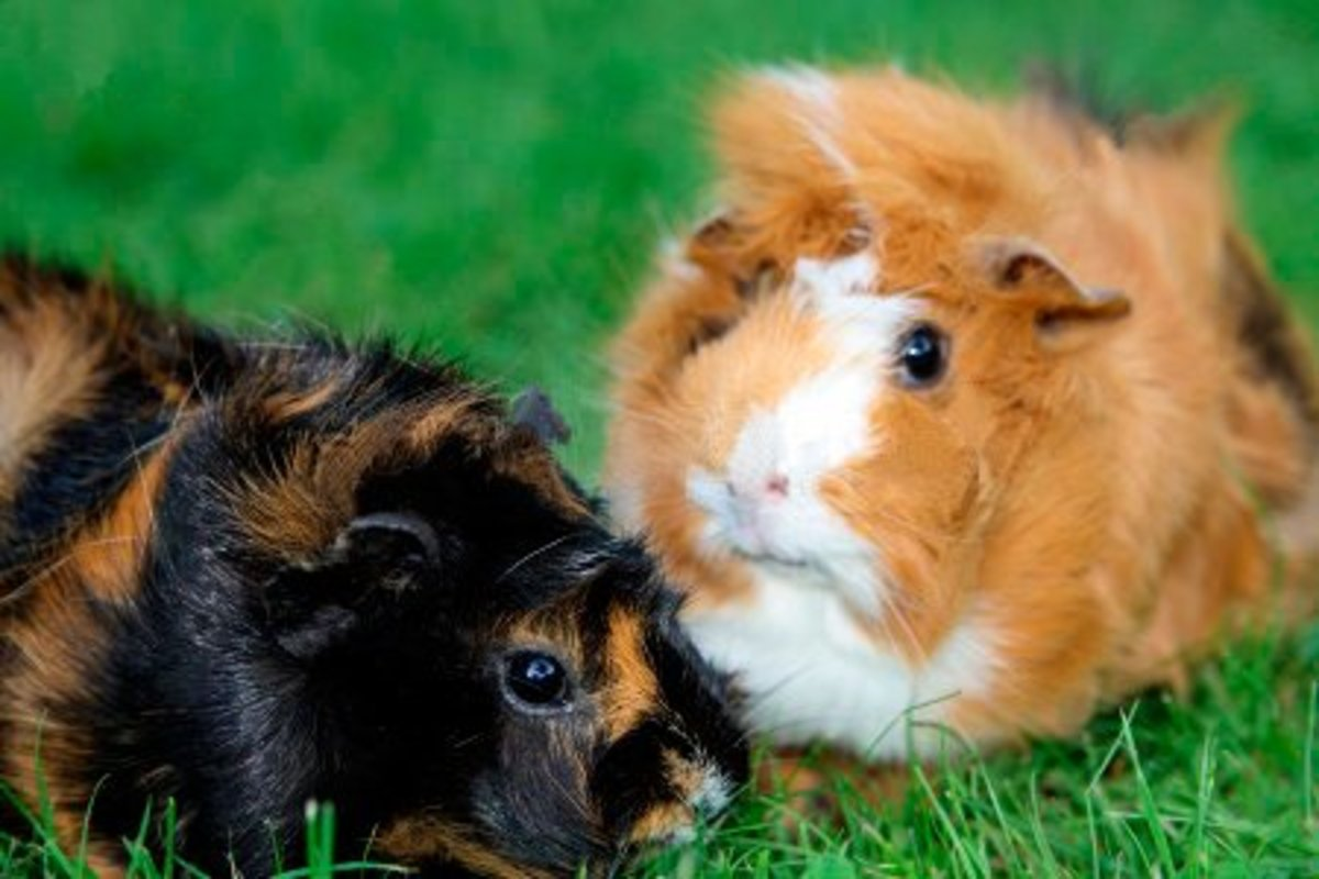 About Abyssinian Guinea Pigs: Care Guide, Breeds, Fur Colours, Origin