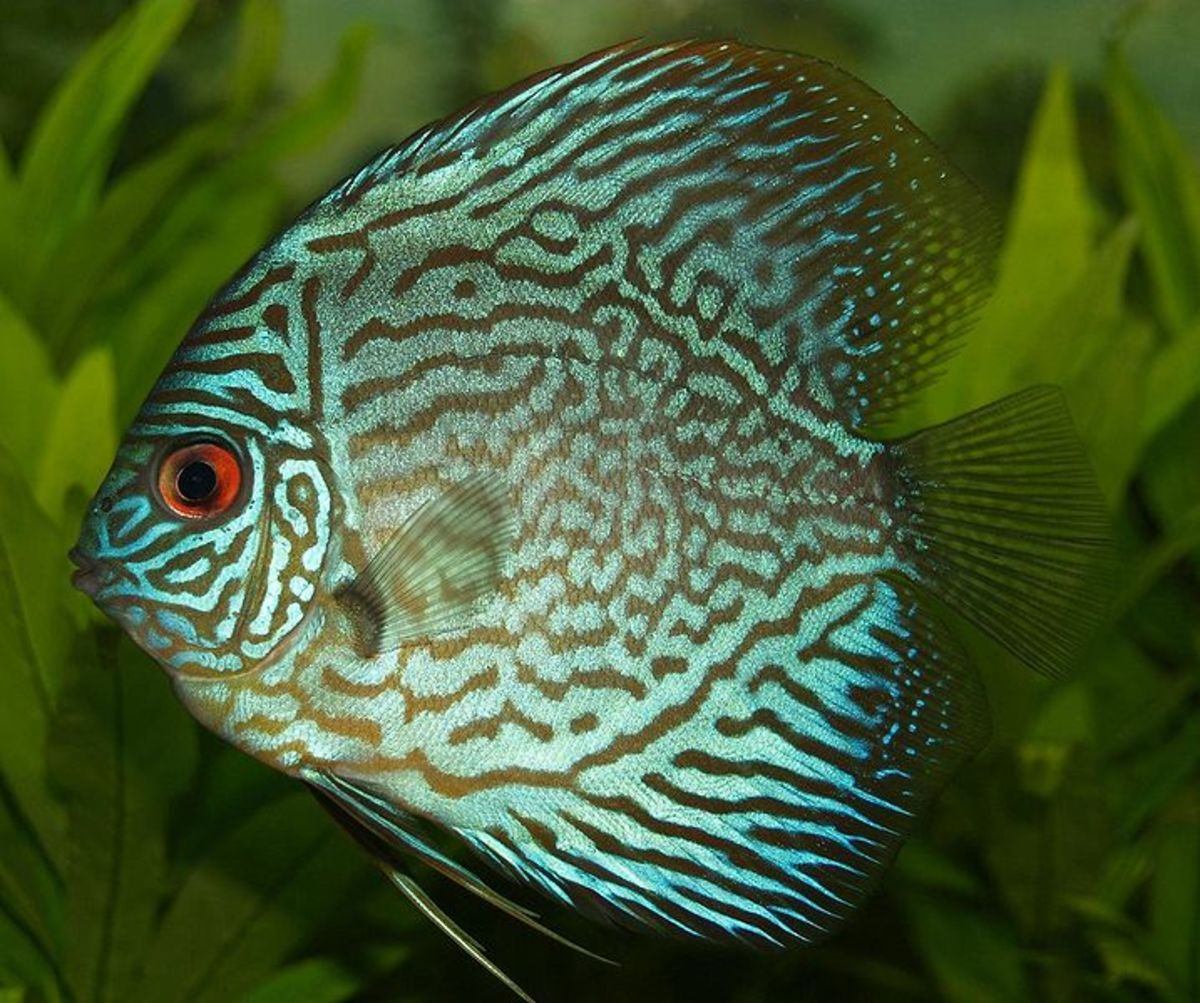 The discus fish a peaceful species of new-world cichlid that may be labeled semi-aggressive because they grow large enough to eat smaller fish.