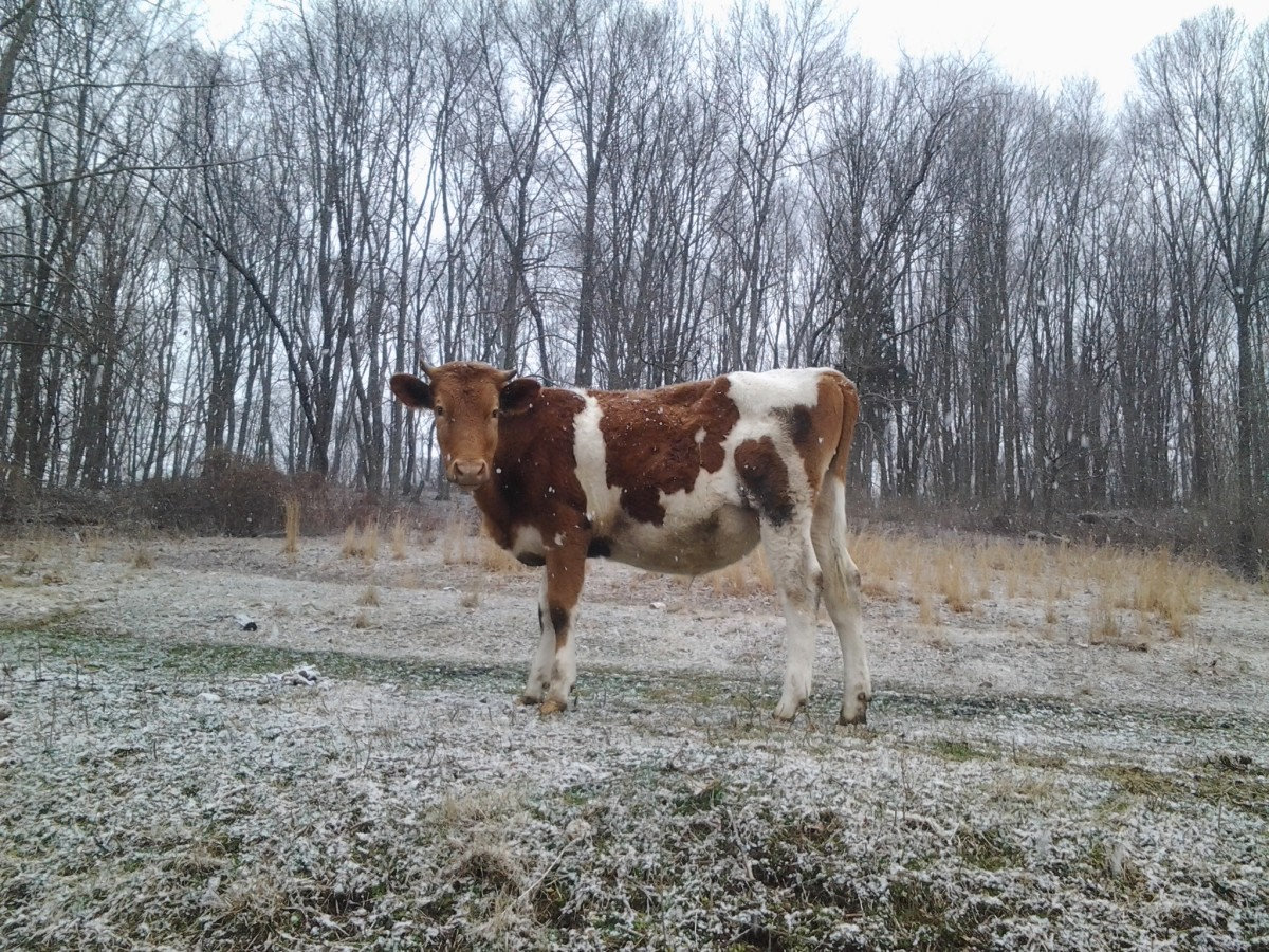 I miss this guy... (Guernsey calf)