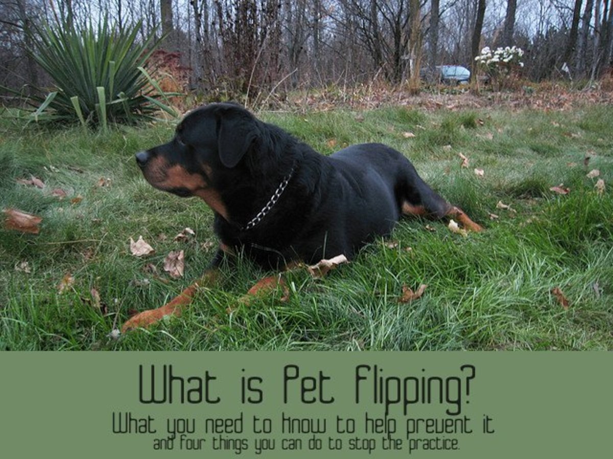 Purebred dogs, like this Rottweiler, are primary targets of pet flippers.