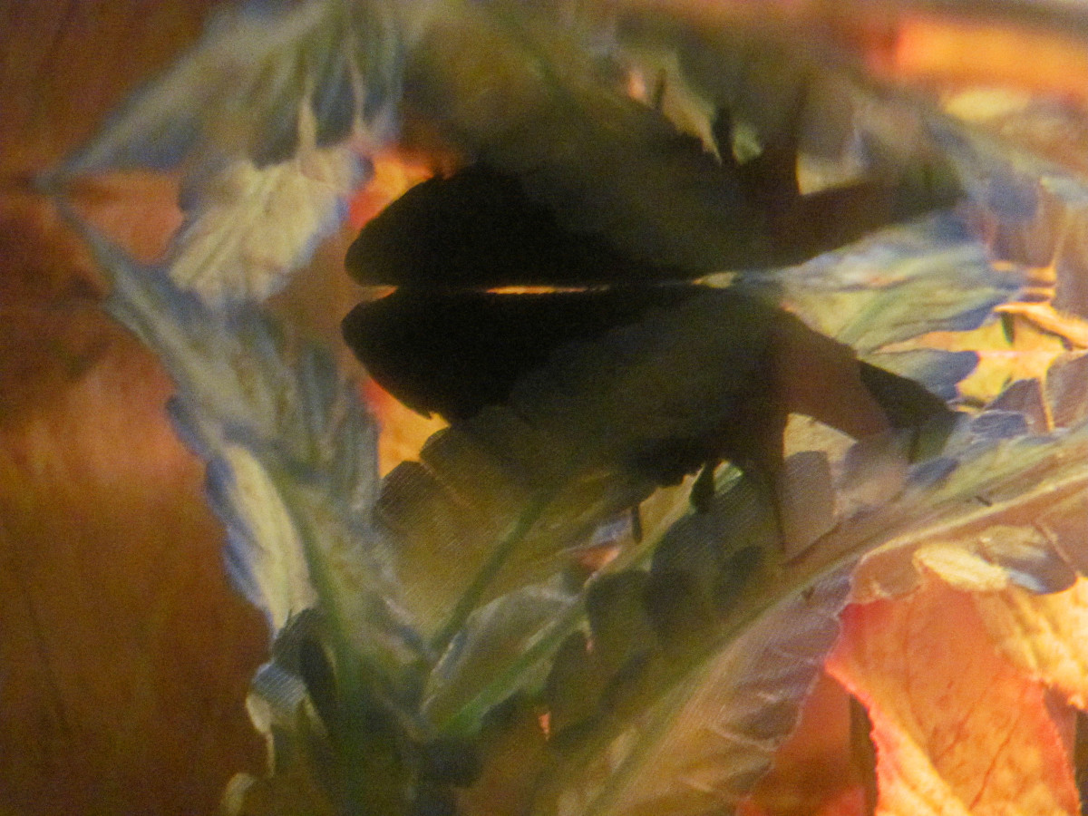How to care for an old betta pethelpful for How to care for betta fish