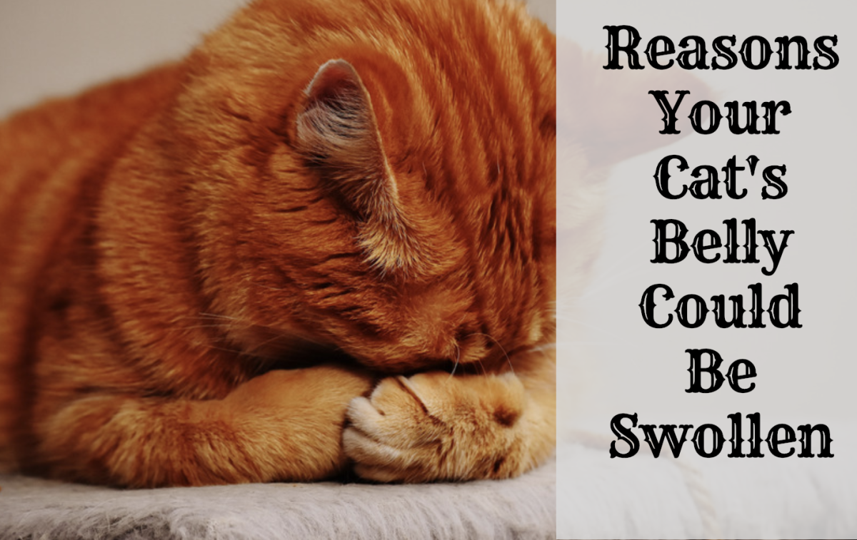 Possible Reasons Why Your Cat Has a Swollen Abdomen or Belly