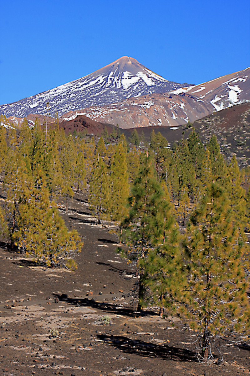 The great volcanic cone of Mount Teide rises beyond a lava field and a sparse growth of Canary Island Pines