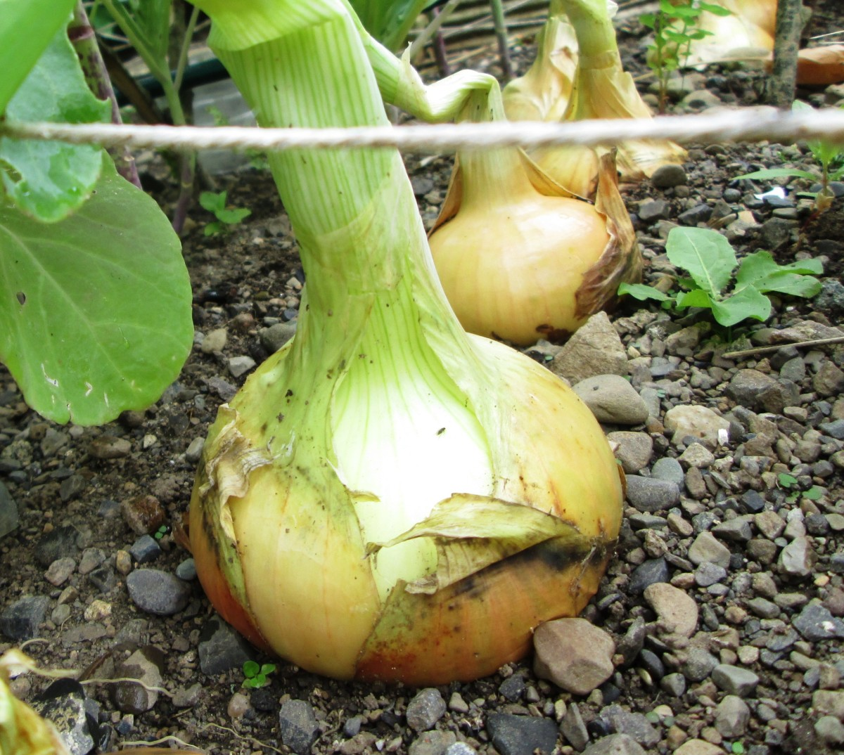 How to Grow Onions in the Garden or Allotment