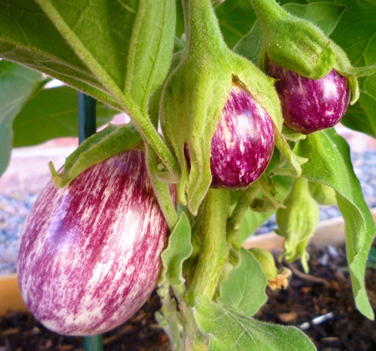 How to Grow Eggplant in Containers