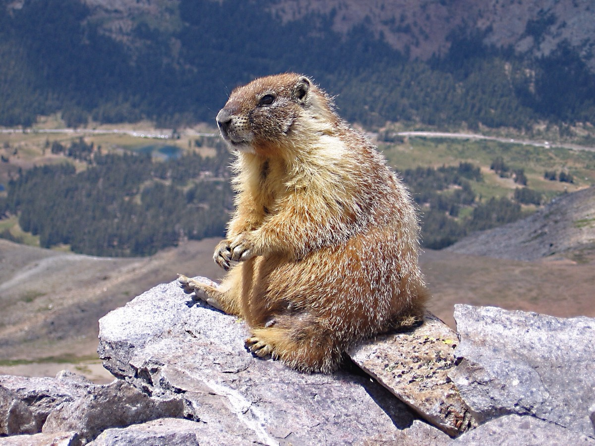 A yellow-bellied marmot in Yosemite National Park; this species also lives in British Columbia