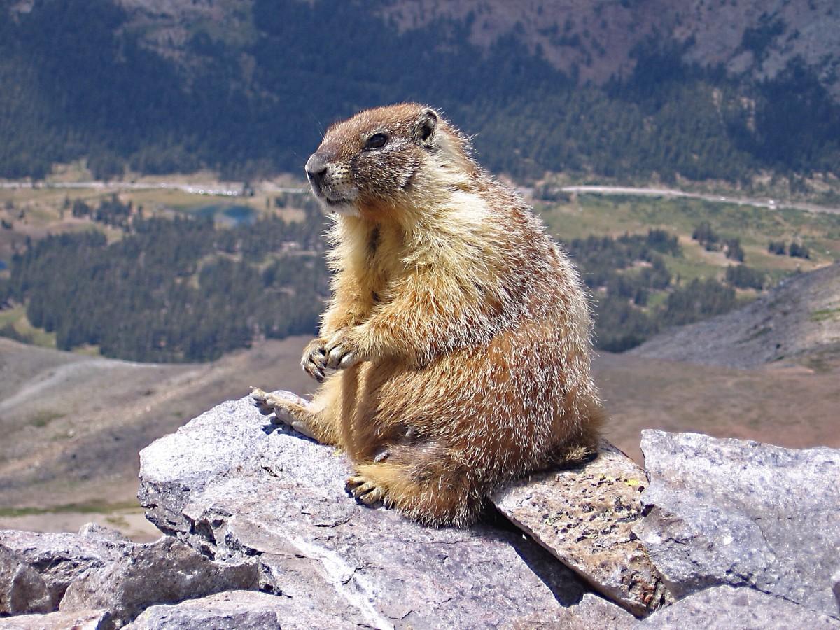 The Marmots of British Columbia - Wildlife in Canada