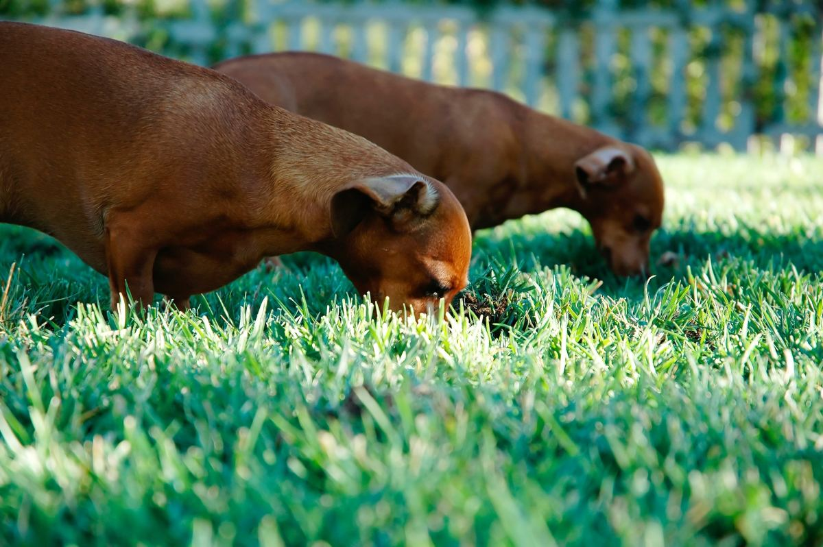 You may have to treat your yard to be completely rid of fleas.