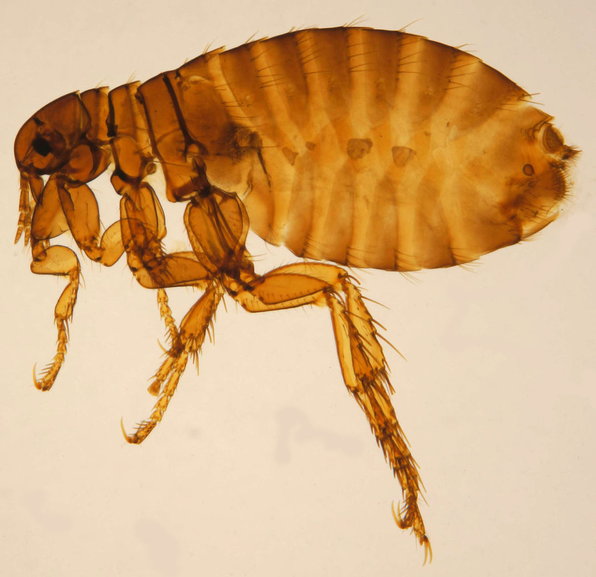 Kill Household Fleas in Three Easy Steps