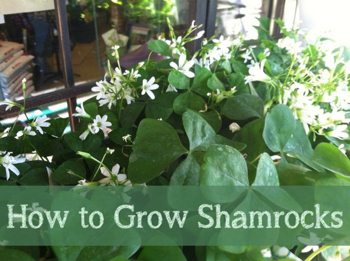 Growing Shamrocks for St. Patrick's Day isn't all it's cracked up to be!