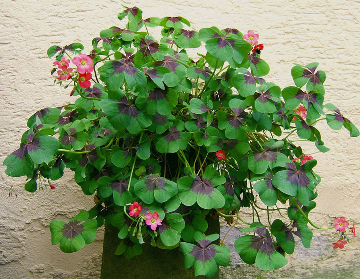 Shamrocks can come in four-leafed versions. Who knew?!