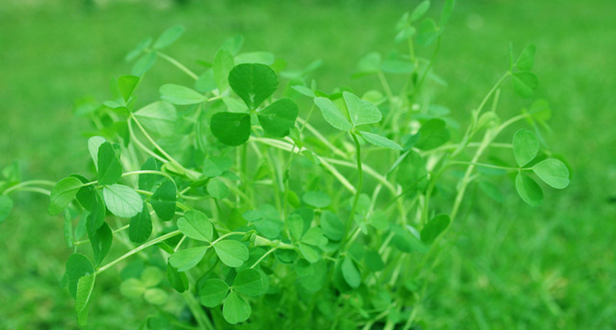 Cluster of Shamrocks