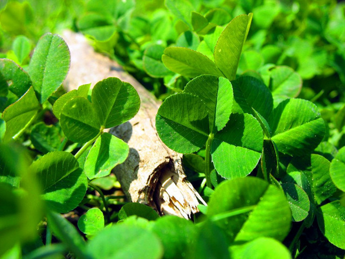 Shamrocks grow naturally in the wild.