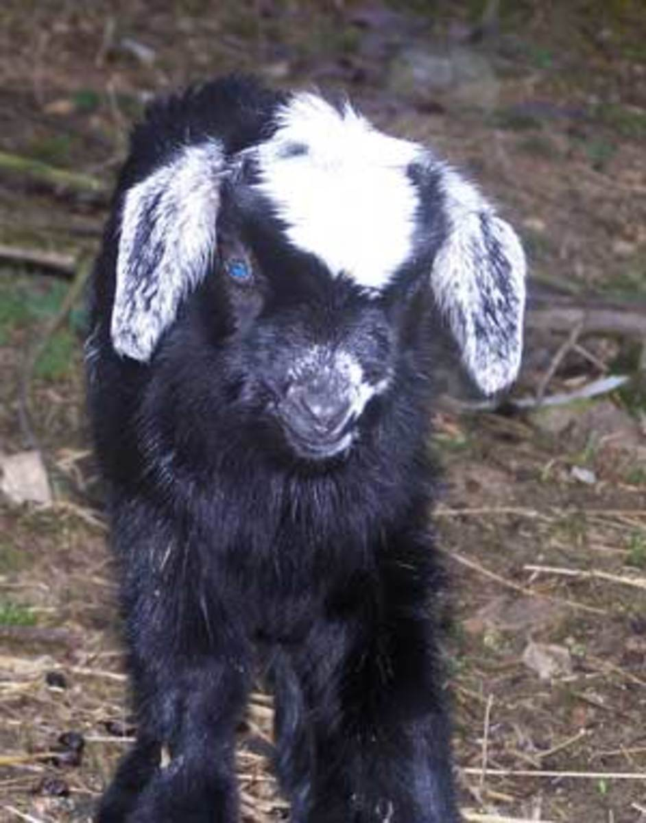 The Best Names for Your Pet Goat