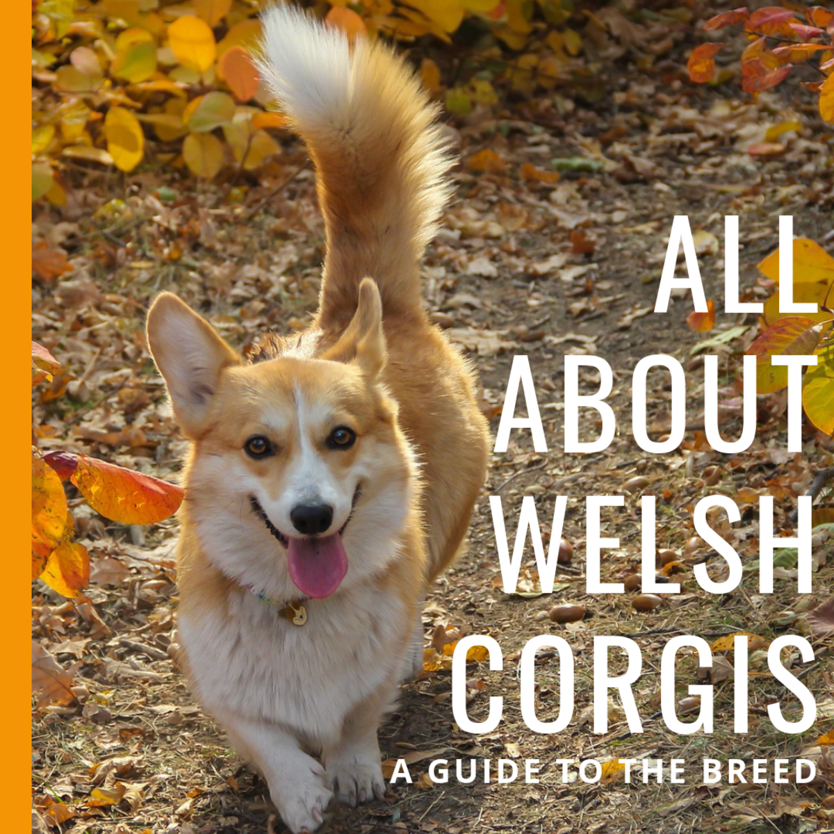 Welsh Corgi Breed Information: What You Really Need to Know