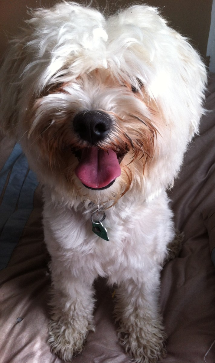 This is Rufus—Havanese dogs are very family friendly and get along wonderfully with other pets and children.