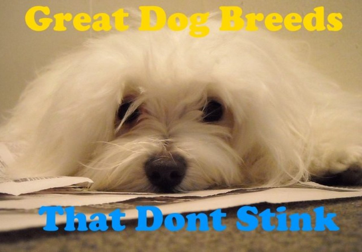 The Maltese is one of the dog breeds that has no bad smell.