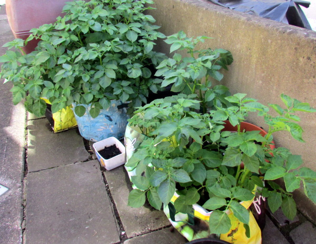 How to grow potatoes in bags on a patio or in the backyard