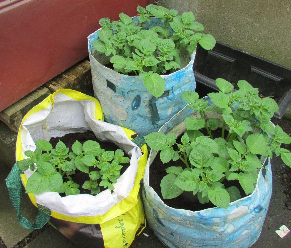 How to Plant, Grow and Harvest Potatoes in Bags