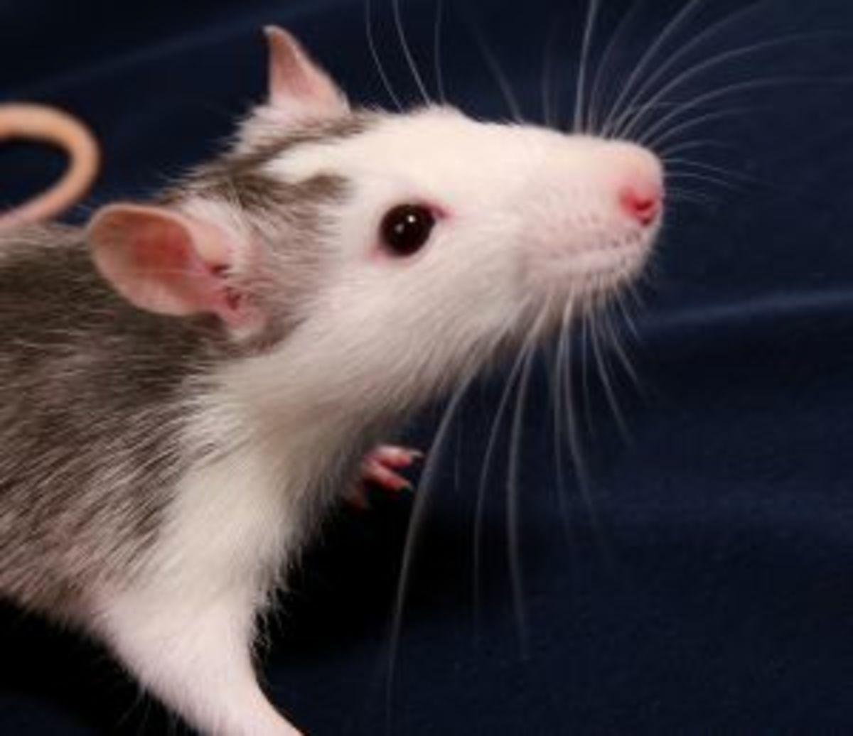 Common Breeder Rat Species, the Norfolk Rat.