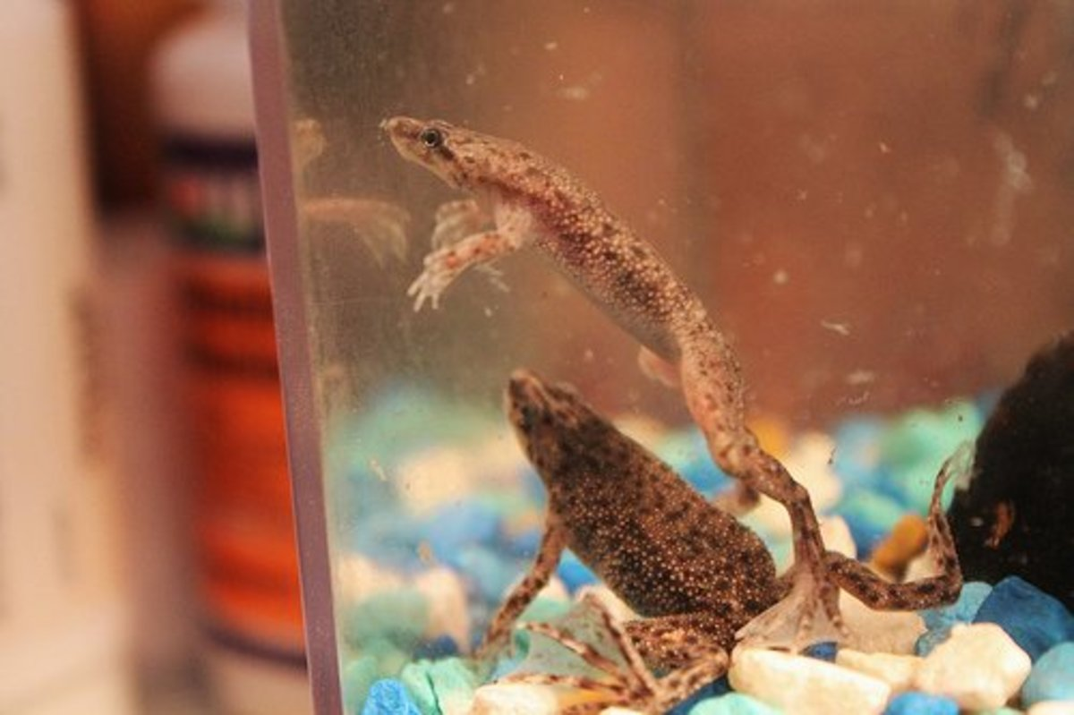 African dwarf frogs are easy pets.