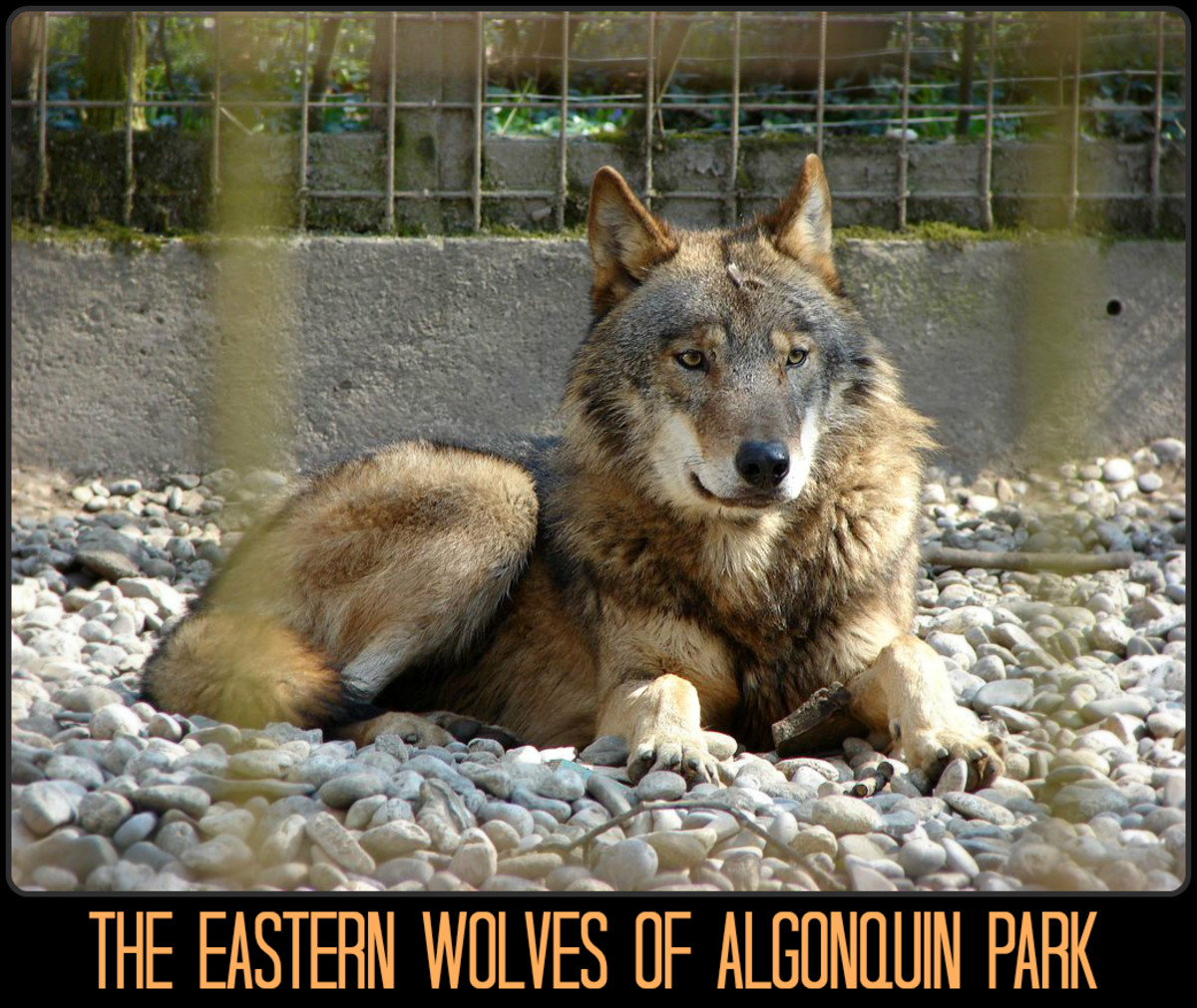 Algonquin Provincial Park is home to 30-35 eastern wolf packs. Sadly, there are less than 500 of these animals left in the wild, with Algonquin Park seeing the largest population.