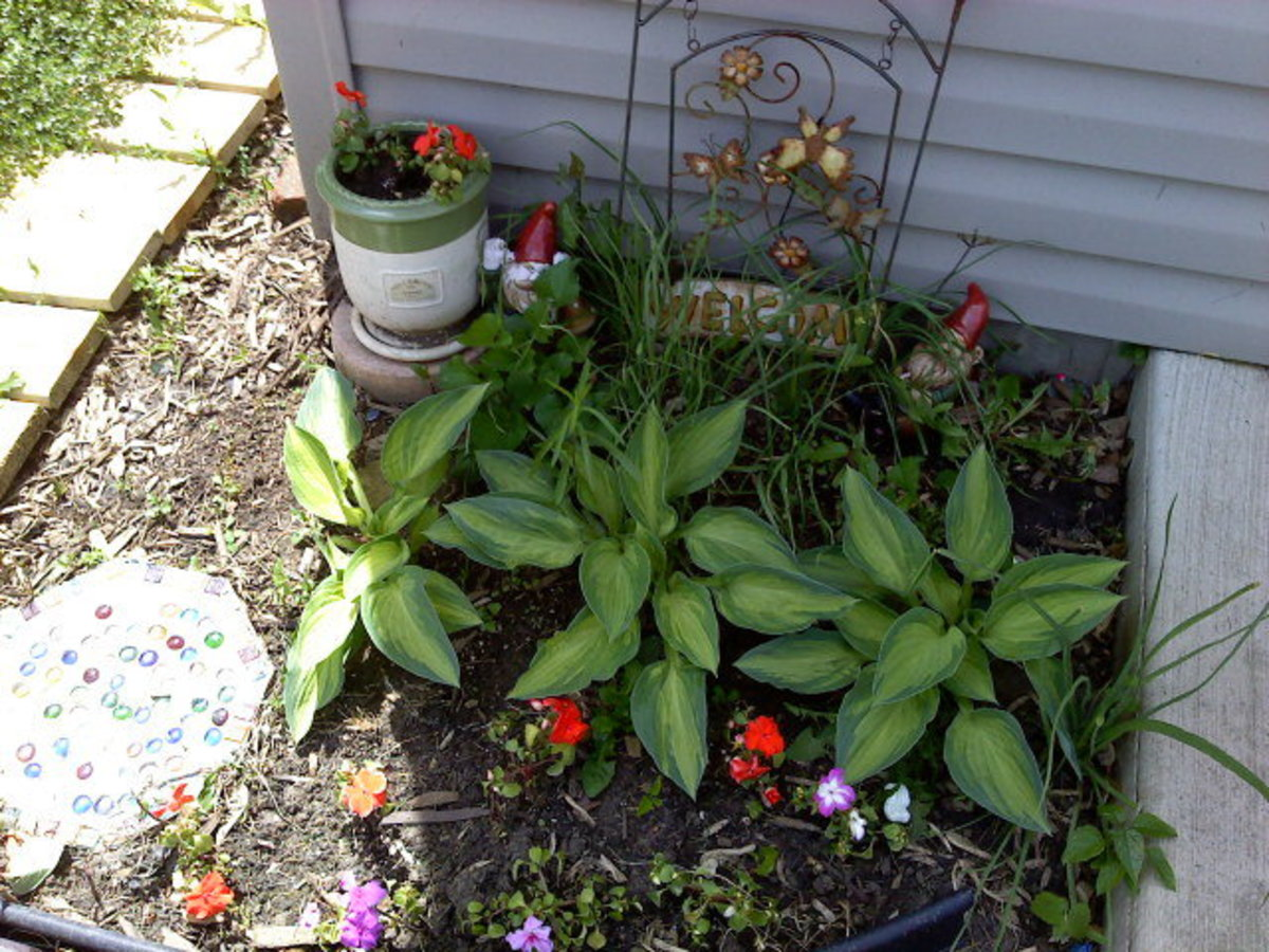 A trio of hostas