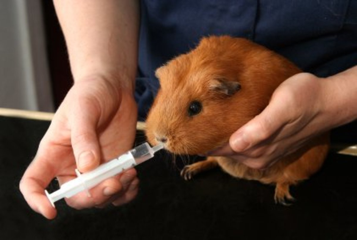 Oral antibiotics being given to a guinea pig