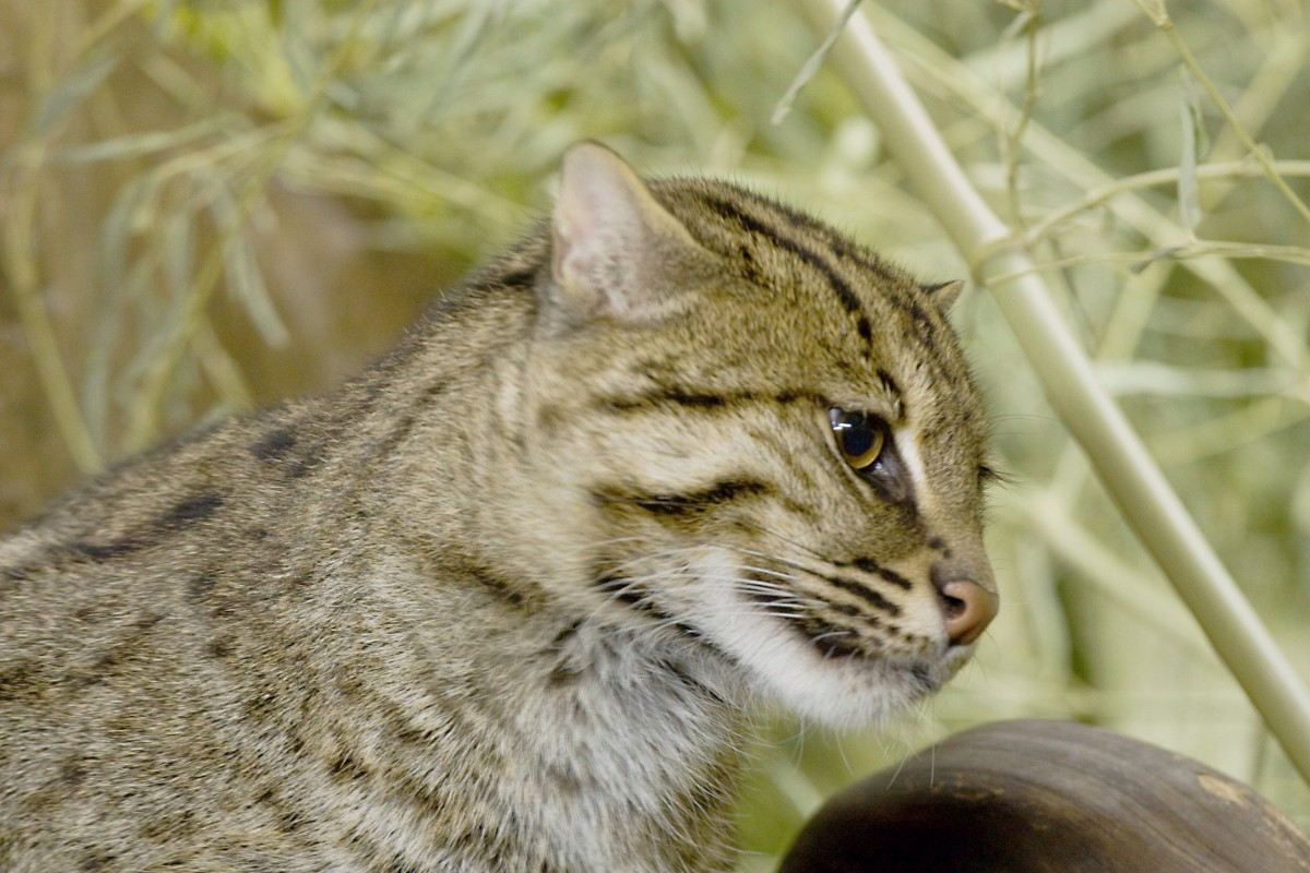 A fishing cat at the Cincinnati Zoo