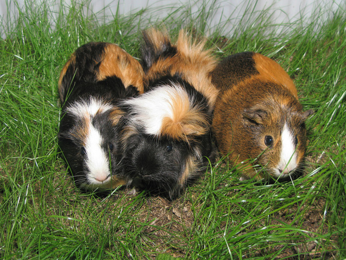 Guinea Pigs can easily get overheated...keep them out of the heat at all costs!