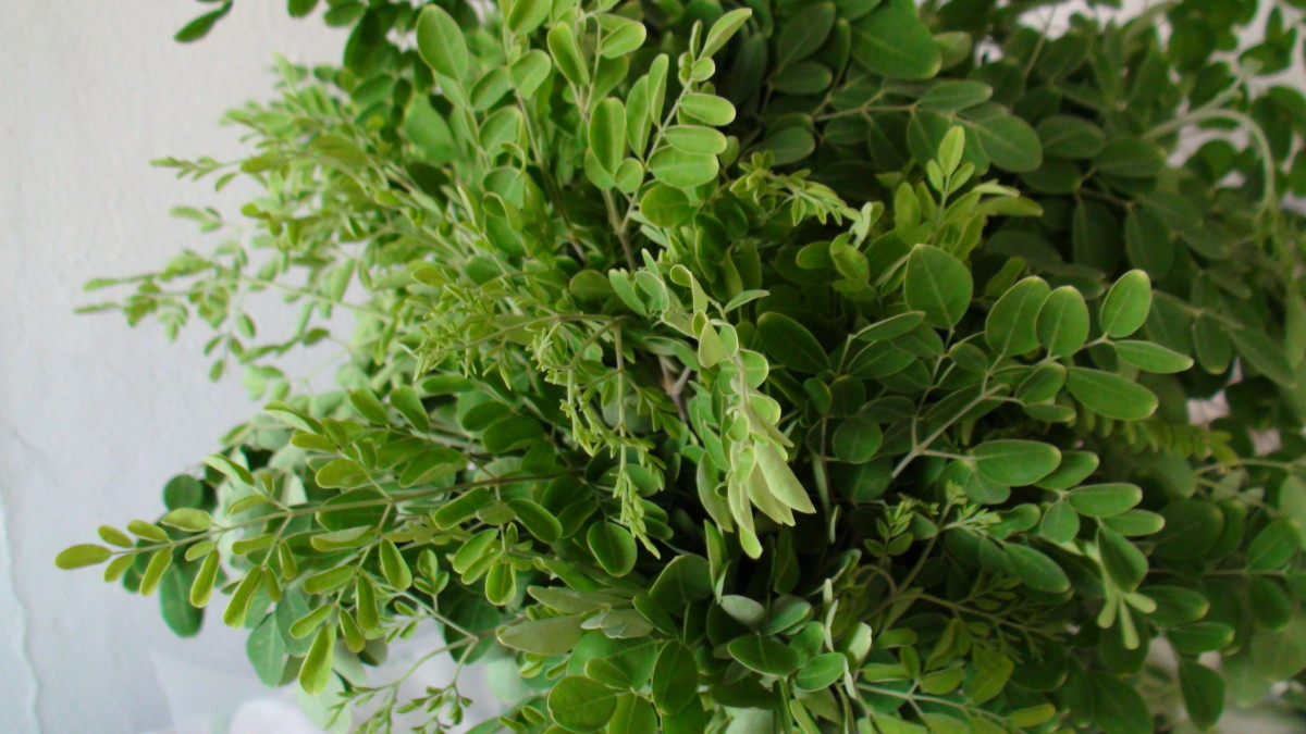 The nutrient-rich Moringa leaves.