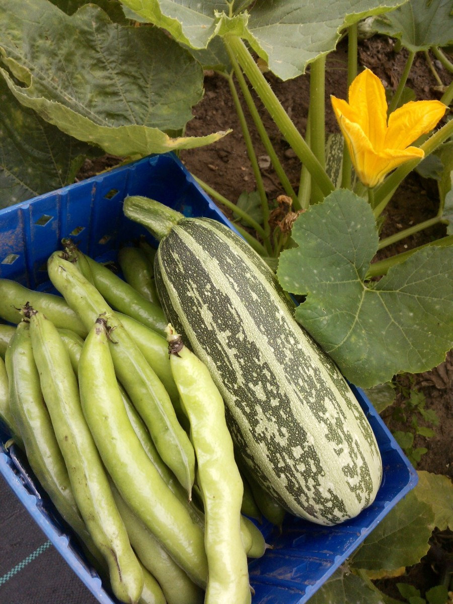 Broad beans and marrows. You'll get a bigger and better harvest from raised beds.