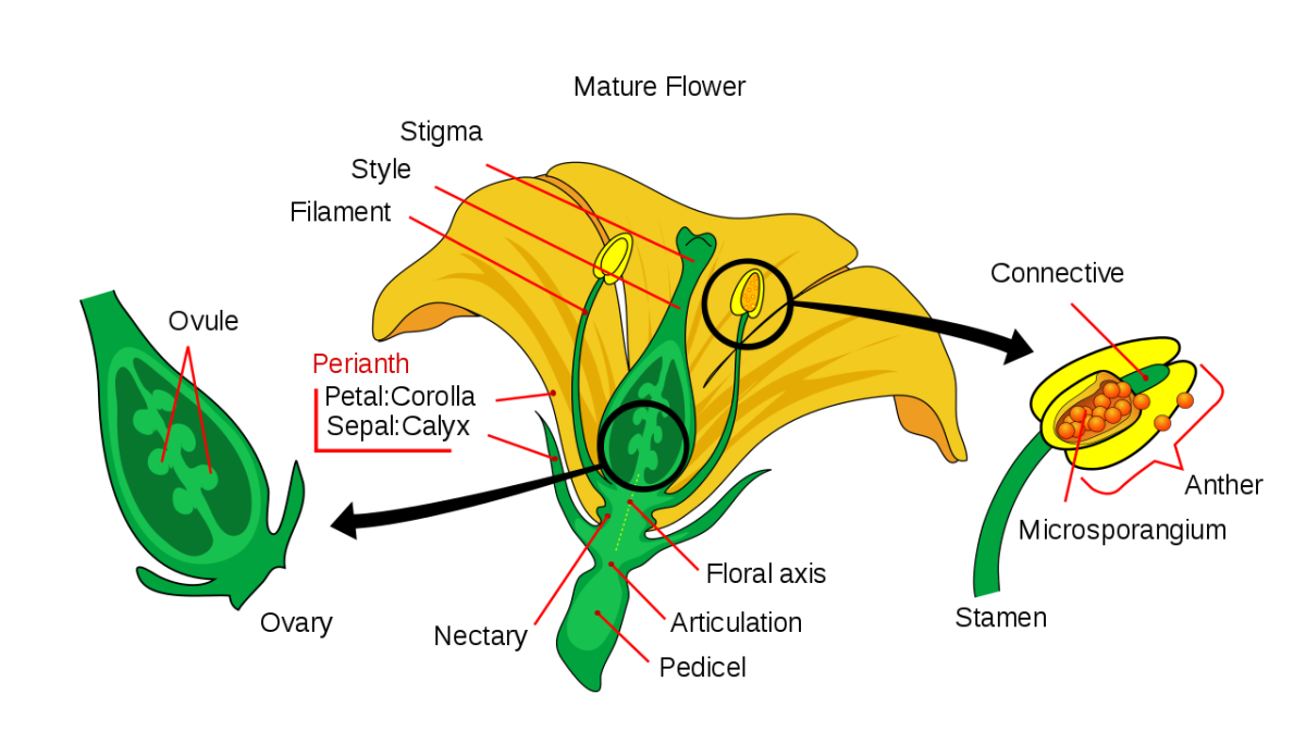 The reproductive parts of a flower. Embryonic seeds called ovules develop in the ovary, the plant equivalent of a womb.