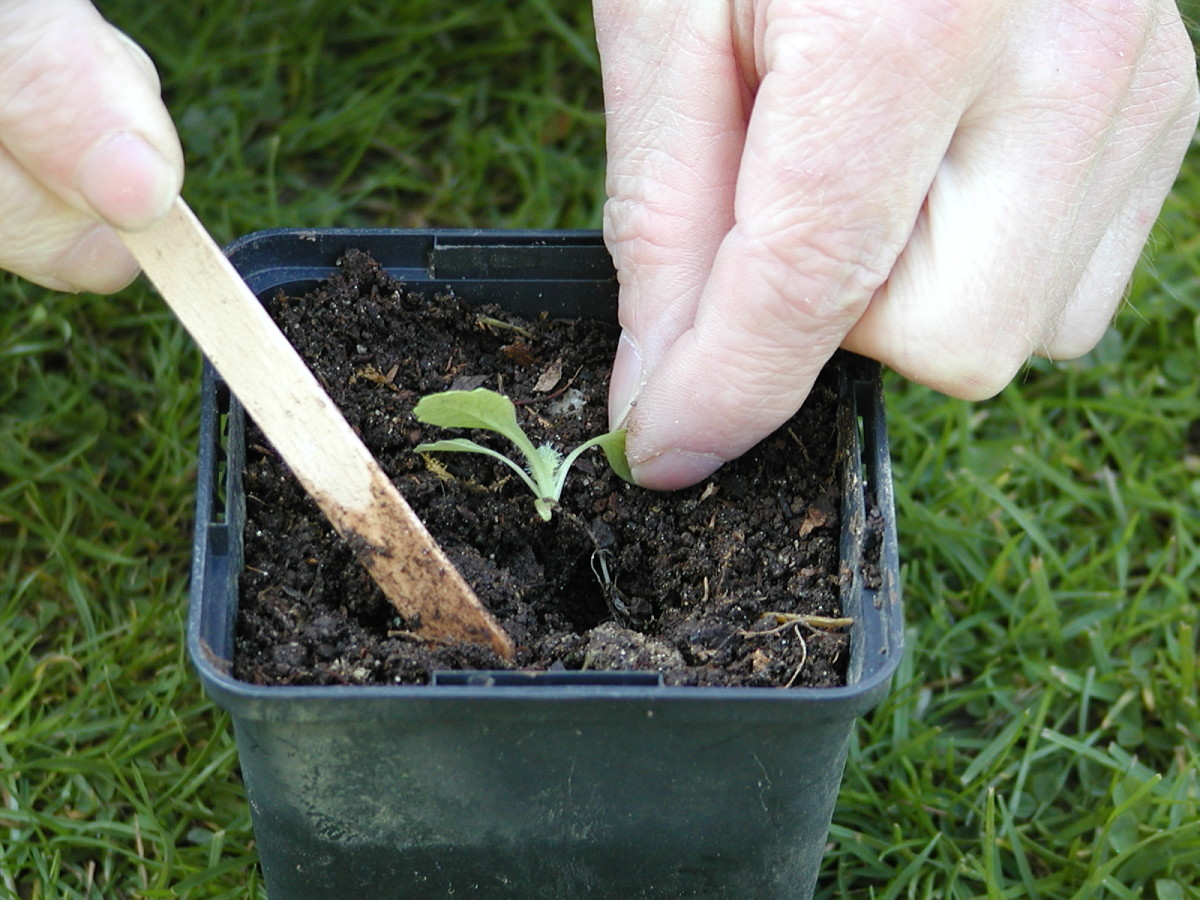 Pull the compost back around the seedling
