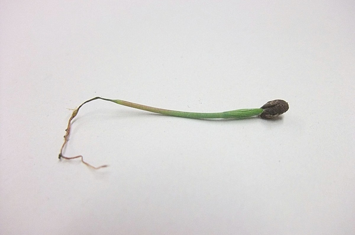 Seedling with damping off disease. The root and lower stem have shriveled.