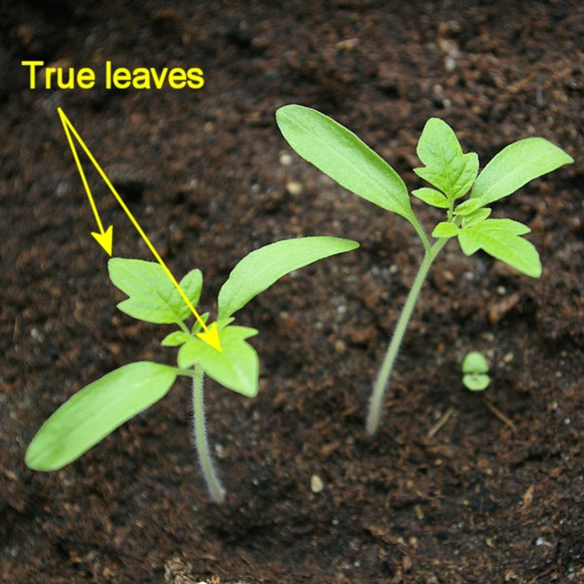 True leaves: When you see these, the seedling is ready for its own pot.