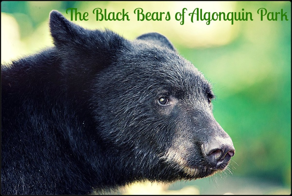 Algonquin Provincial Park is home to over 2,000 Black Bears. This works out to approx. one bear for every 3 kms. Or as the joke goes, one bear for every three campers.